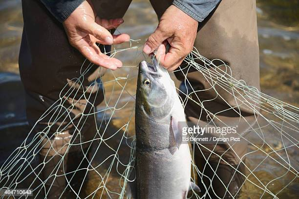 A Fisherman Pulls Red (Sockeye) Salmon (Oncorhynchus Nerka) From A Net At A Fish Camp On Six Mile Lake Near Nondalton Adjacent To Lake Clark National Park And Preserve