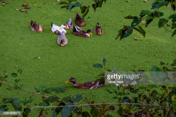 A fisherman rows his boat in Dal lake on September 16 2018 in Srinagar the summer capital of Indian administered Kashmir India Kashmir the Muslim...