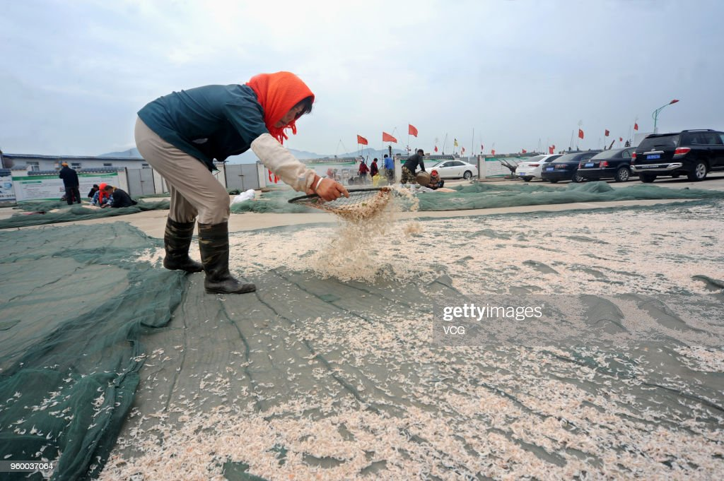 Fishermen Dry Shrimps In Lianyungang