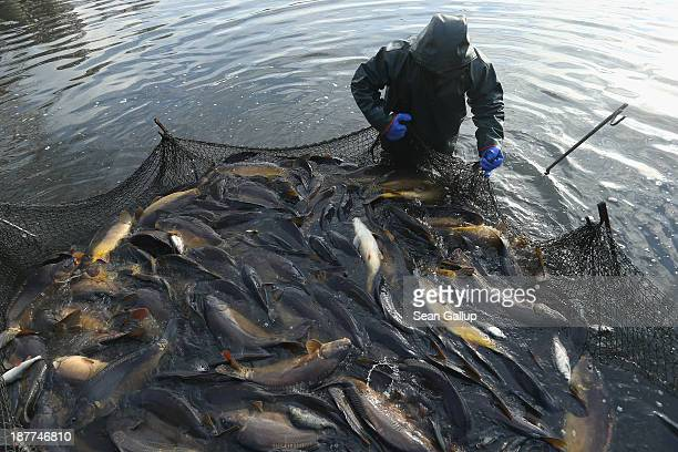 A fisherman secures a net that traps carp during the annual carp harvest at the fish ponds on November 12 2013 near Peitz Germany Fish farming at the...