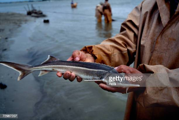 A fisherman shows a baby sturgeon which was caught in a net near the Volga River's mouth in the Caspian Sea October 1997 in Russian Federation He...