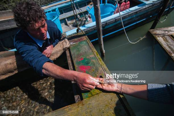 A fisherman shows to a tourist a 'Moeca' in a corner of a wooden box used to keep the crabs until the moment they lose their shield on April 14 2018...