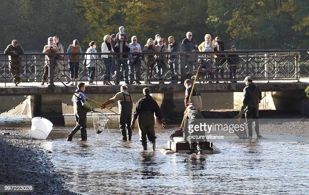Fisherman standing during the traditional fishing out in the Nymphenburger canal in Munich Germany 14 October 2017 The fish mostly carp are available...