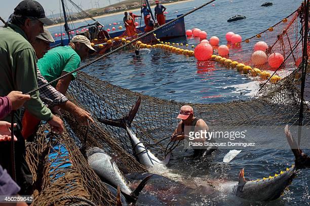 A fisherman ties a bluefin tuna tail in the water during the end of the Almadraba tuna fishing season on June 3 2014 near the Barbate coast in Cadiz...