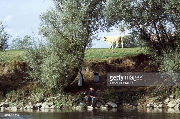 Fisherman weeping willow and cows from Charolais near the village of Baugy France La Loire Pêcheur le long de la Loire saules et vache charolaise...