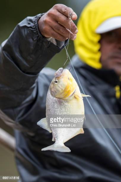 Fisherman with piranha catch