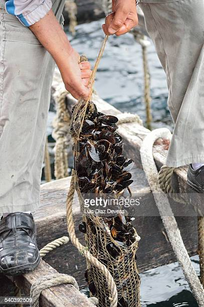 fisherman working in a mussel bed - cozza zebrata foto e immagini stock