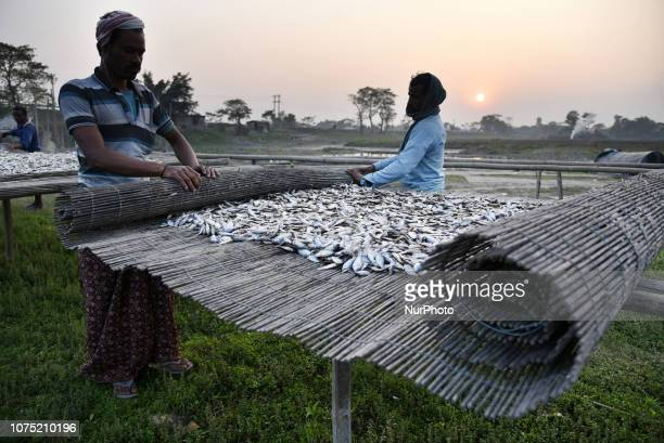 Fisherman wrapping up fishes during sunset after dry fishes whole day in the sun in Barpeta some 110 KM from Guwahati Assam India on Wednesday...