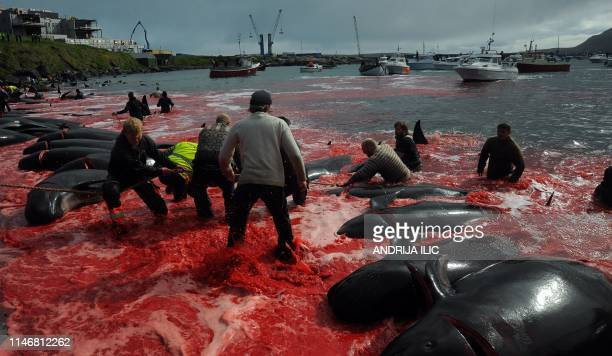Fishermen and volunteers pull on the shore pilot whales they killed during a hunt on May 29, 2019 in Torshavn, Faroe Islands. - As local fishermen...