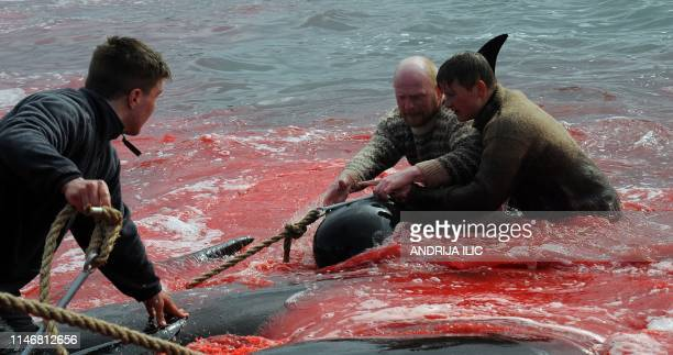 Fishermen and volunteers pull on the shore pilot whales they killed during a hunt as blood turned the sea red on May 29 2019 in Torshavn Faroe...