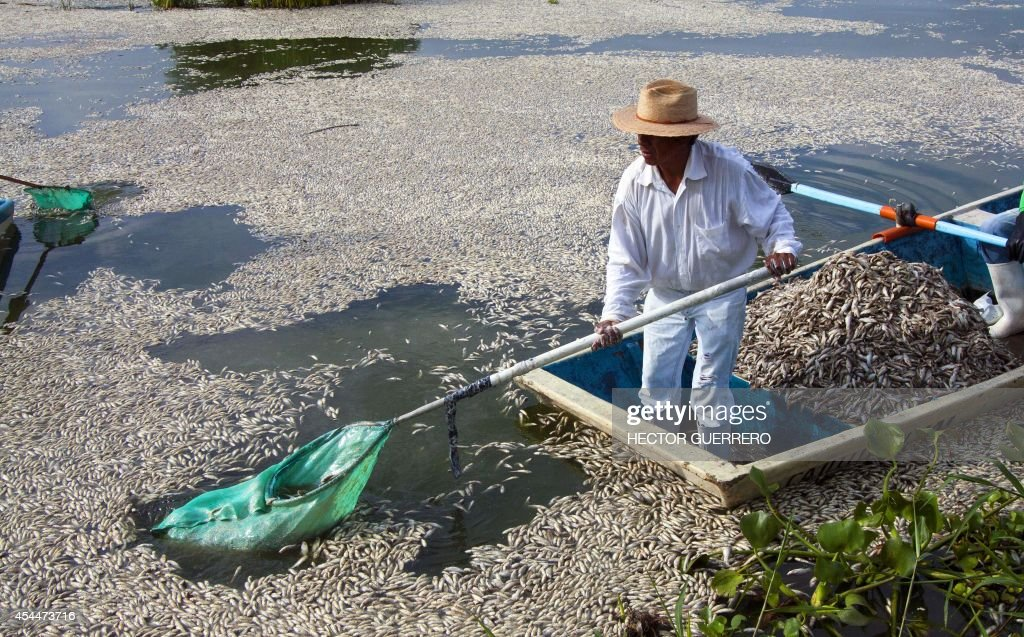 Fishermen collect dead 'popocha' fish at the lagoon of Cajititlan in Tlajomulco de Zuniga, Jalisco State, Mexico, on September 1, 2014. At least 48 tonnes of fish have turned up dead in a lagoon in western Mexico and authorities are investigating whether a wastewater treatment plant is to blame. Officials in the state of Jalisco said late Sunday it was the fourth case of mass deaths at the Cajititlan lagoon this year in the town of Tlajomulco, south of Guadalajara. AFP PHOTO/Hector Guerrero
