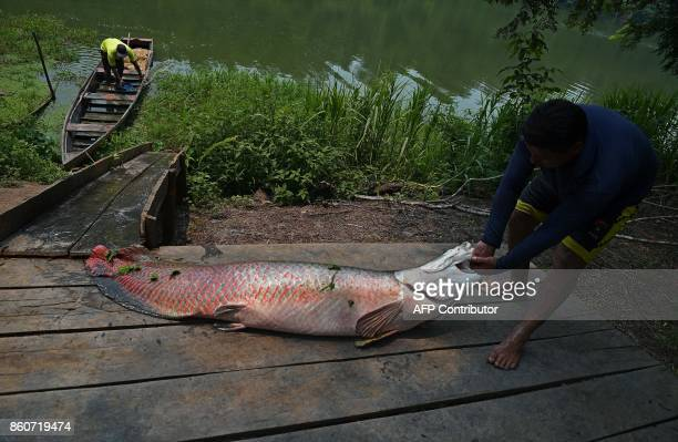 Fishermen drag to a dock a recenly catched arapaima also known as pirarucu in the Western Amazon region near Volta do Bucho in the Ituxi Reserve on...
