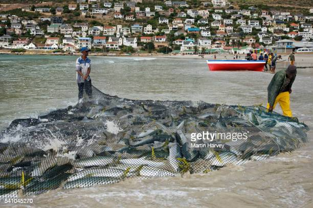 Fishermen dragging net full of yellowtail amberjack fish onto beach