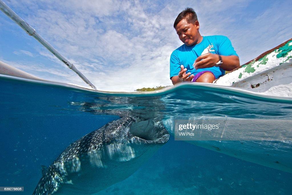 Whale shark feeder in Oslob, Philippines : News Photo