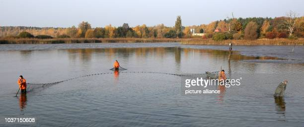 Fishermen fish a carp pond from the Mueritz-Plau fishery in the Muertiz National Park in Boek, Germany, 29 October 2015. The fishery, with 27,000...
