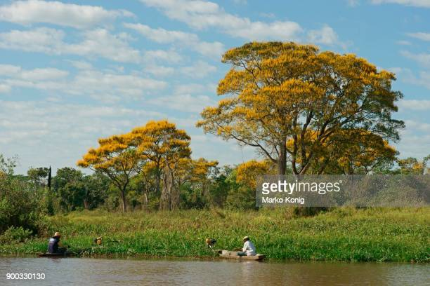 fishermen fishing in boats on the reed bank, yellow flowering lapacho trees, yellow lapacho (handroanthus serratifolius), pantanal, mato grosso, brazil - handroanthus stock pictures, royalty-free photos & images
