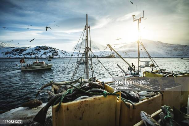 fishermen fishing skrei cod in the arctic sea - fishing industry stock pictures, royalty-free photos & images