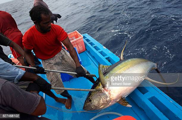 Fishermen from the Maldives haul aboard a yellowfin tuna to the deck of a dhoni boat in the Indian Ocean The tuna has been swimming across the Indian...