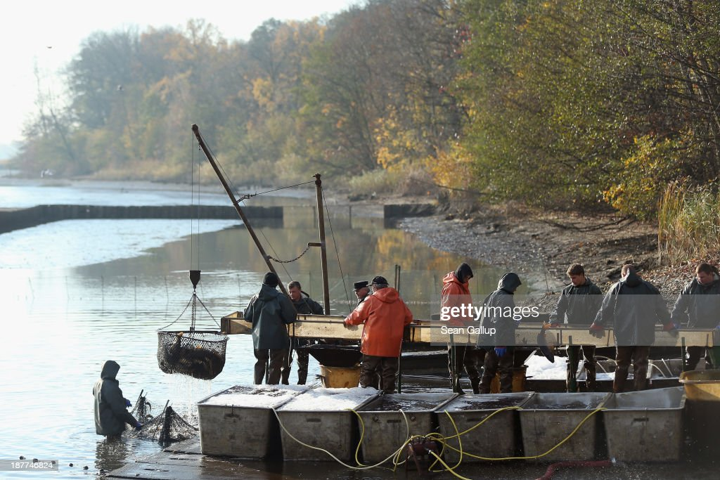 Fishermen hoist a net full of fish as others sort them during the annual carp harvest at the fish ponds on November 12, 2013 near Peitz, Germany. Fish farming at the over 100 ponds, which are man-made, dates back to the 15th century, and carp is the main fish harvested. Carp is the traditional Christmas dinner in many parts of the region, though one fisherman laments that tastes are changing among younger generations and that the demand for carp will decline.