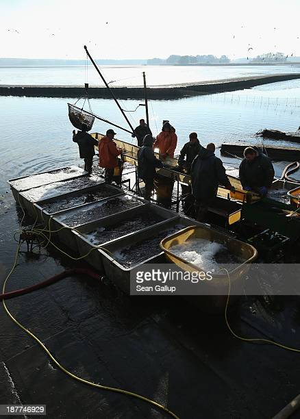 Fishermen hoist a net full of fish as others sort them during the annual carp harvest at the fish ponds on November 12 2013 near Peitz Germany Fish...