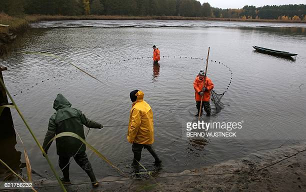 Fishermen hold a net to fish carps during the fish harvest of the Müritz-Plau fishing company at a pond in Boek, northeastern Germany, on November 8,...