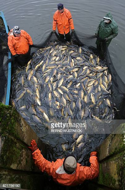 Fishermen hold a net with carps during the fish harvest of the Müritz-Plau fishing company at a pond in Boek, northeastern Germany, on November 8,...
