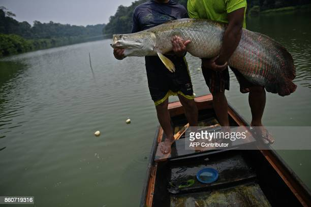 Fishermen hold a recenly catched arapaima also known as pirarucu in the Western Amazon region near Volta do Bucho in the Ituxi Reserve on September...