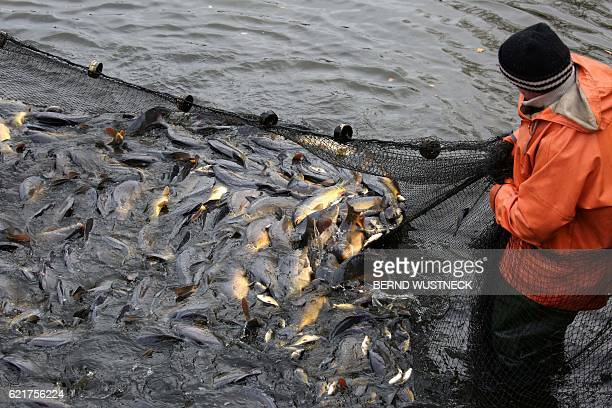 Fishermen holds a net with carps during the fish harvest of the Müritz-Plau fishing company at a pond in Boek, northeastern Germany, on November 8,...