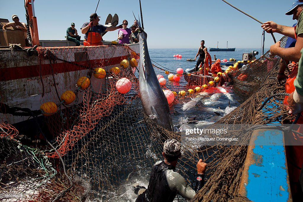 Fishermen lift a bluefin tuna from the water to a boat during the end of the Almadraba tuna fishing season on June 3, 2014 near the Barbate coast, in Cadiz province, Spain. Almadraba is a traditional bluefin tuna fishing method in Southern Spain already used during Phoenician and Romans times. Fishers place mazes of nets to catch tuna migrating from the Atlantic Ocean to the Mediterranean Sea and select those that have the best size. Almadraba tuna is well demanded by Japanese for its quality. Today fishers use a different technique to control the catch amount by releasing many of the bluefin tunas before hauling the nets to avoid exceeding their limited quota fixed by International Commission for the Conservation of Atlantic Tunas 'ICCACT'. Almadraba fishers association claim the fishing quota could now be increased as fishers are struggling and the tuna population has recovered quite well.