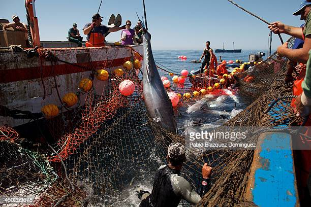 Fishermen lift a bluefin tuna from the water to a boat during the end of the Almadraba tuna fishing season on June 3 2014 near the Barbate coast in...