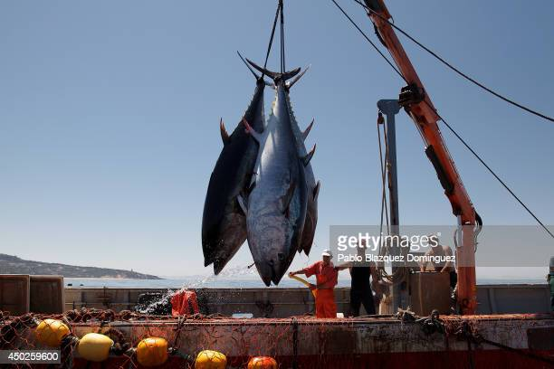Fishermen lift bluefin tunas from the water to the boat during the end of the Almadraba tuna fishing season on June 3 2014 near the Barbate coast in...