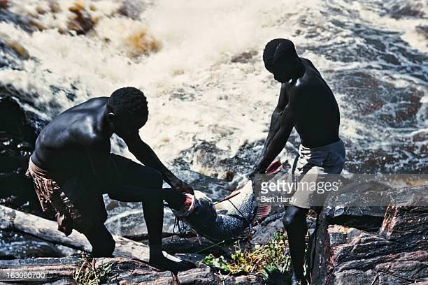 Fishermen of the Madi tribe landing a Nile perch at the Fola Rapids on the White Nile, close to the Ugandan border near Nimule, Sudan, circa 1952....