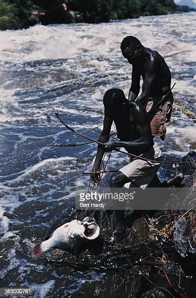 Fishermen of the Madi tribe landing a Nile perch at the Fola Rapids on the White Nile close to the Ugandan border near Nimule Sudan circa 1952 The...