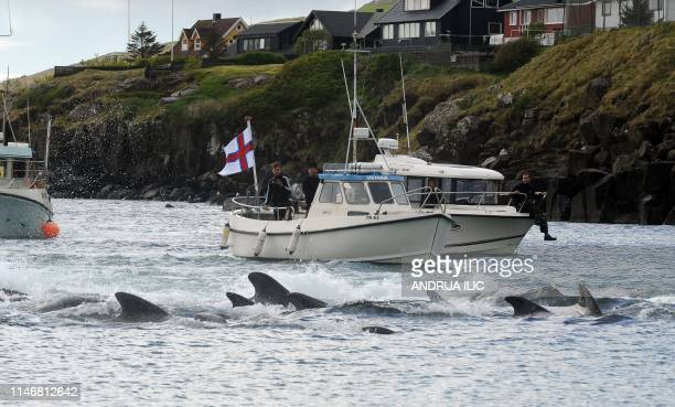 Fishermen on a boat drive pilot whales towards the shore during a hunt on May 29 2019 in Torshavn Faroe Islands As local fishermen spot pods of pilot...