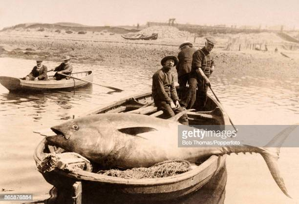 Fishermen posing with a huge tunny or bluefin tuna caught outside Girvan Harbour in Western Scotland on 10th July 1913 The fish weighed 644 pounds...