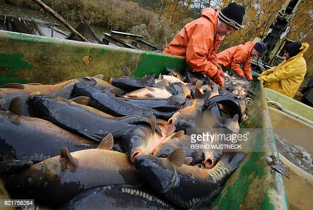 Fishermen prepare carps for transport after the fish harvest of the Müritz-Plau fishing company at a pond in Boek, northeastern Germany, on November...
