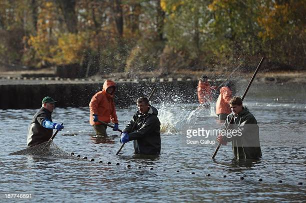 Fishermen pull a net across a fish pond to trap carp and other fish during the annual carp harvest at the fish ponds on November 12 2013 near Peitz...