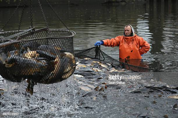 Fishermen pull out live carp from a net for sorting during the annual carp harvest at fish ponds on November 16 2015 near Peitz Germany Fish farming...