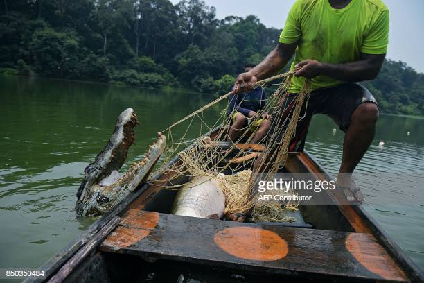 Fishermen pull up a live 25 metre crocodile in their net in the Western Amazon region Brazil on September 20 2017 The fishermen were fishing for a...