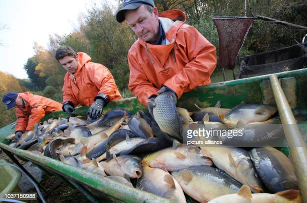 Fishermen sort and weigh fish after they are fished from a carp pond from the Mueritz-Plau fishery in the Muertiz National Park in Boek, Germany, 29...