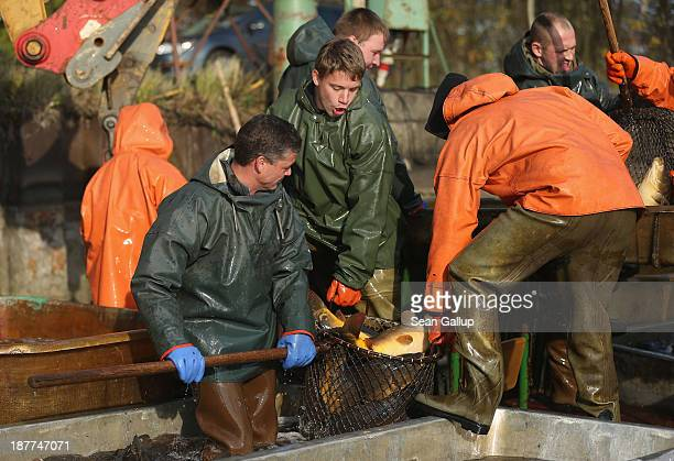 Fishermen sort carp during the annual carp harvest at the fish ponds on November 12 2013 near Peitz Germany Fish farming at the over 100 ponds which...