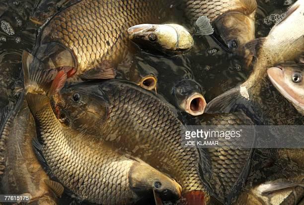 Fishermen sort harvested fish during the traditional Carp haul in the lake of Dvoriste near the south Bohemian town of Trebonon 31October 2007 Carp...