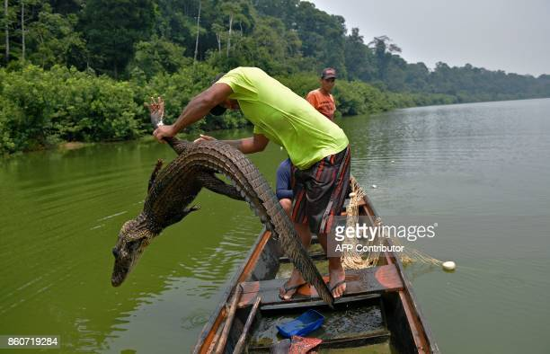 Fishermen throw back to the water a dead caiman trapped in their net as they fished for arapaima also known as pirarucu in the Western Amazon region...