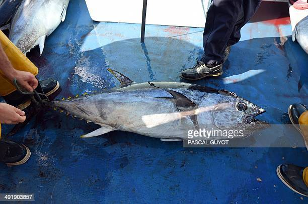 Fishermen unload a bluefin tuna on a boat in the port of Sete on the Mediterranean coast southern France on May 17 2014 The annual bluefin tuna...
