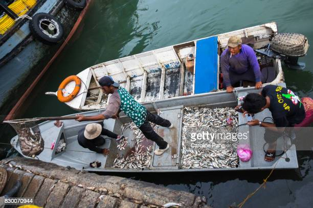 fishermen unloading rotten fish to be transported to agriculture farm for use as fertiliser. - caroline pang stock pictures, royalty-free photos & images