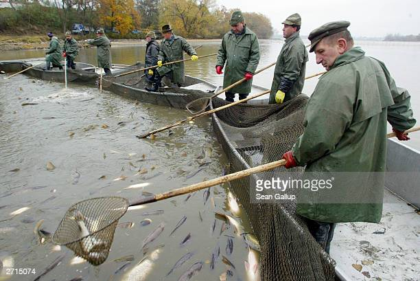 Fishermen use nets to pull out pike from their primary catch of carp November 10 2003 at Bosilecky Lake near Bosilec Czech Republic Carp are...