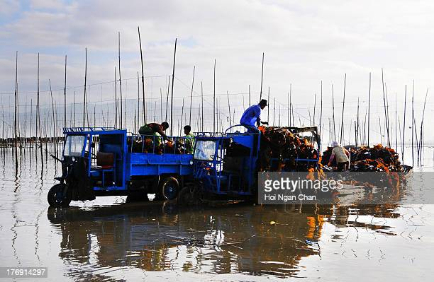 Fishermen working to collect kelp plant from the sea in Xiapu, Fujian, China.