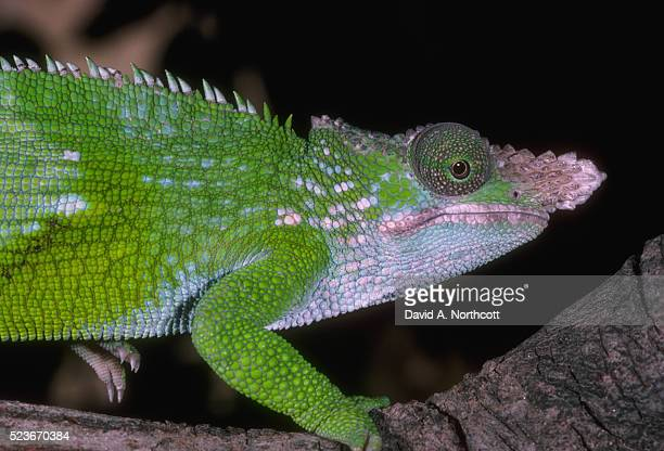Fischers chameleon stock photos and pictures getty images fishers chameleon thecheapjerseys Choice Image