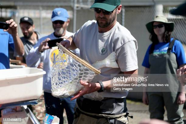 Fishery Manager Joe Sullivan with the East Bay Regional Park District prepares to weigh, measure and radio tag a captured steelhead trout taken from...