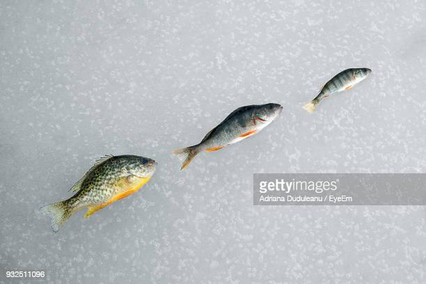 Fishes Against Gray Background